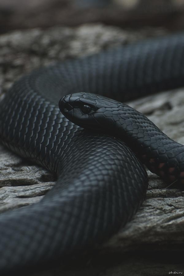 Черной мамбы змеи кожа