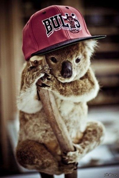 koala bulls