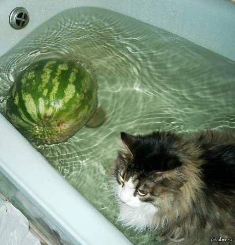 Фото кот арбуз