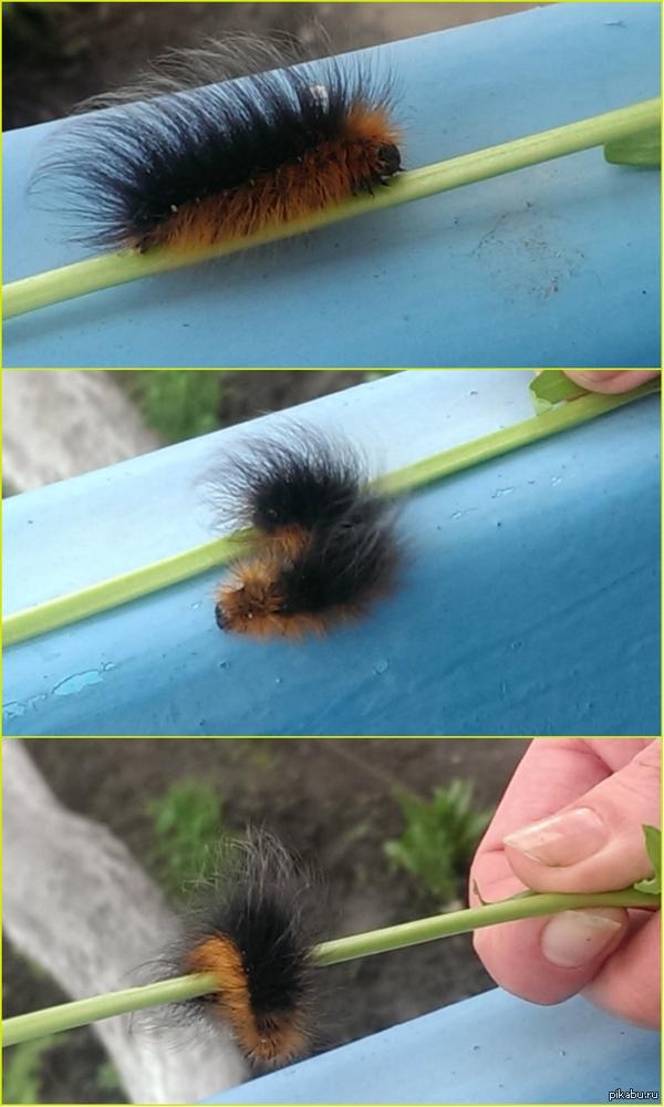 Гусеничка=) Обычно такие существа вызывают во мне панику, а эта очень даже милая) нашли в огороде, она жрала щавель