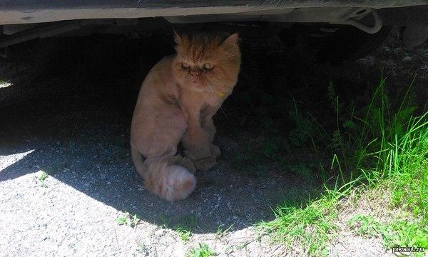 Это кот Семён и он не любит лето) Это мой соседский кот, каждую зиму он обрастает так сильно, что к каждому лету приходится его брить.