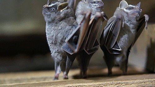 Вы когда-нибудь видели летучих мышей перевернутых вниз ногами? Они же танцуют!  Под катом еще 2 гифки