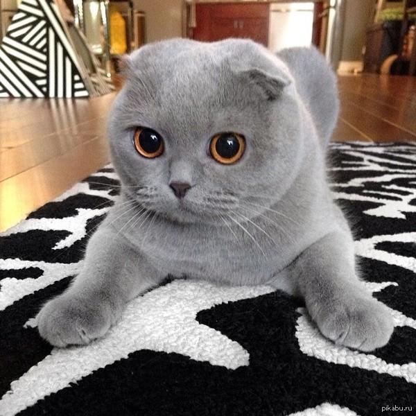 вислоухий шотландец фото серый