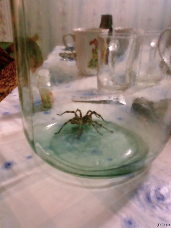 тарантул южнорусский еще детеныш Пойман мной на юге Самарской области, банка в которой он сидит трехлитровая