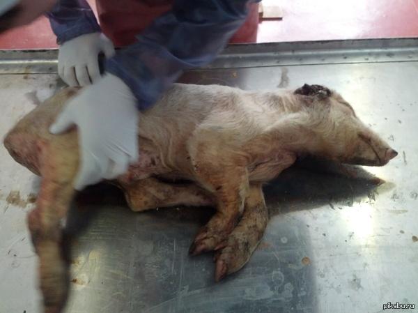 Вот к чему приводит плохой уход за животными. Жена учиться на ветеринара ,вот что им привезли на вскрытие.  П.С. на фото видно что нет уха, оно сгнило причем до черепа мозга.
