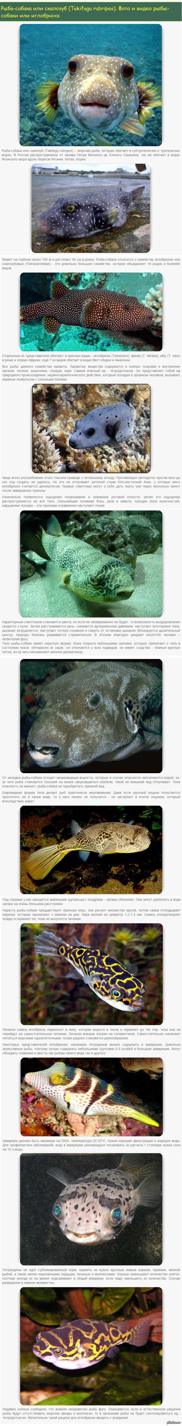Рыба-собака или скалозуб Takifugu rubripes