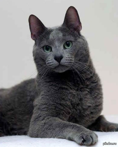 Сибирский кот голубой кот фото