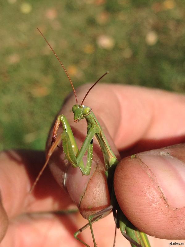 Богомол в средней полосе? Косил вчера траву в деревне (Рязанская область) и встретил вот этого парня.