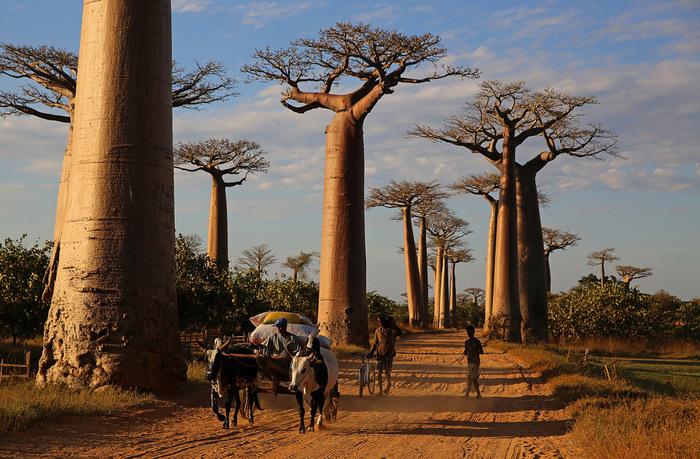 Баобабское Баобаб, Африка, саванна, ботаника, путешествия, Тимонова, Adansonia digitata, добро, длиннопост