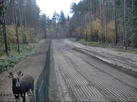 Лось-нелегал эффектно пересёк границу Литвы и Белоруссии