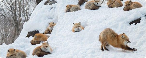 Последний урожай лисичек