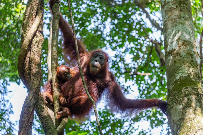 Обнаружен новый вид человекообразных обезьян Копипаста, Биология, Орангутан, Обезьяна, Наука, Животные, Природа