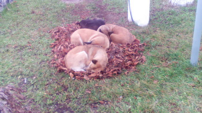 Осенние пёсики