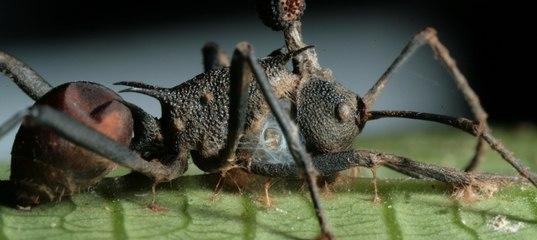 Зомбирующий гриб оказался куда опаснее, чем считали ученые: абсолютный паразит Наука, Грибок, Зомби, Муравьи, Популярная механика, Длиннопост, Кордицепс