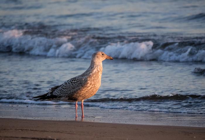 Помогите опознать птицу. Морская птица, Птицы, Ест акулу, Длиннопост