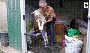 Мужик соорудил для ягнёнка-инвалида коляску. Человеческая доброта, Доброта, Животные, Инвалидная коляска, Гифка, Видео
