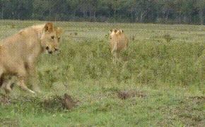 Да ну его нафиг, связываться с таким неадекватом. мангуст, лев, животные как люди, Природа, фауна, гифка, видео
