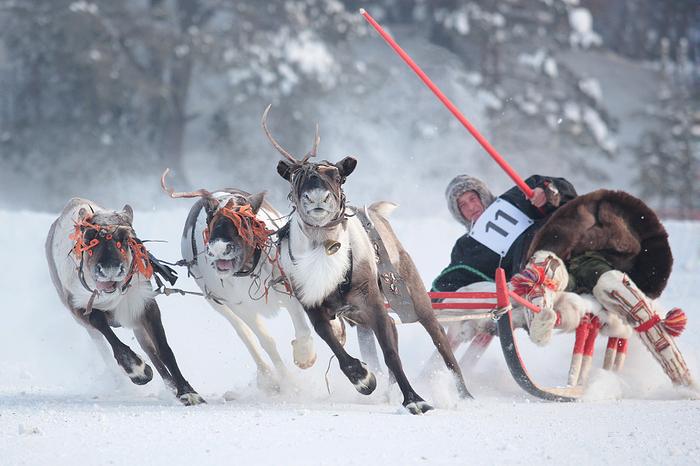 По улицам Воркуты промчатся оленьи упряжки Олень, Соревнования, Северные олени, Длиннопост