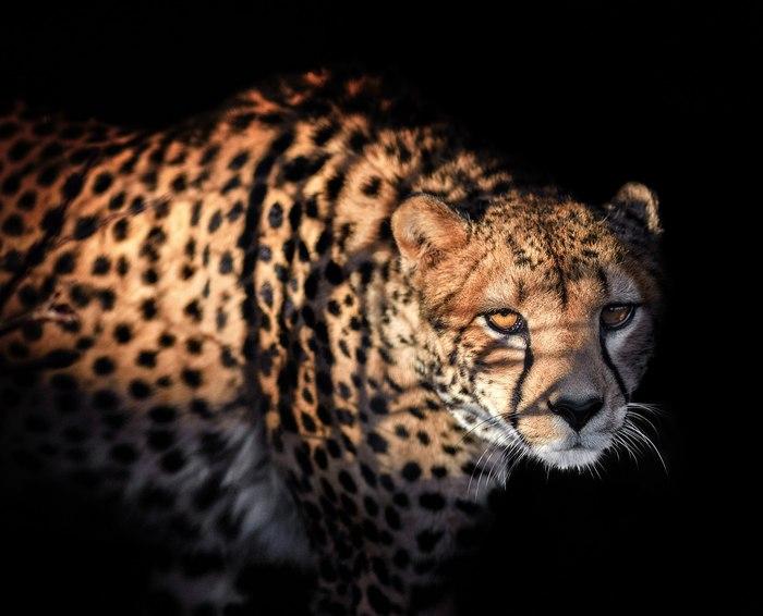 Грация хищника Зоопарк, Гепард, Челябинский зоопарк, The National Geographic, Дикая природа, Животные