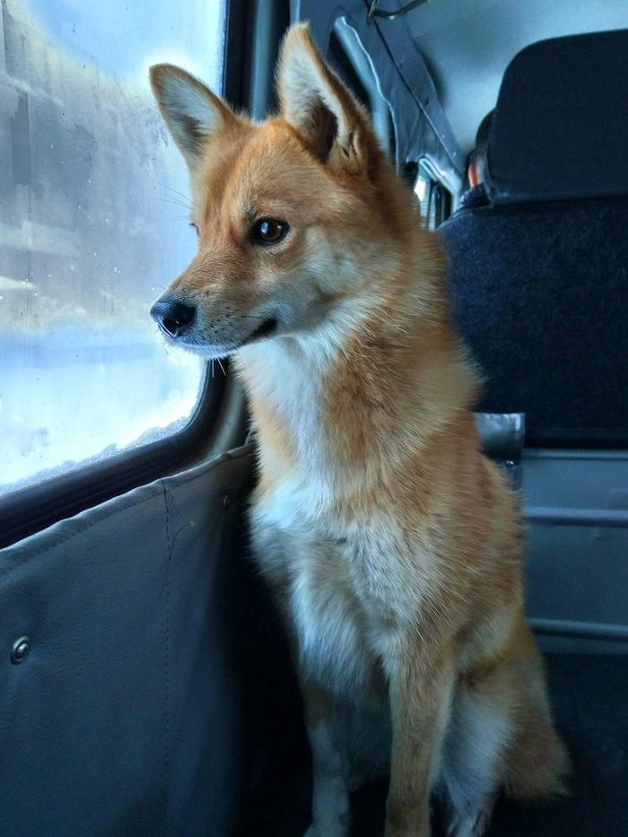 Карело-финская лайка Собака, Или, Лиса, Красавица, Охотница