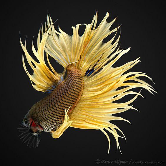 Невероятные петушки Аквариумистика, Аквариумные рыбки, Петушки, Длиннопост