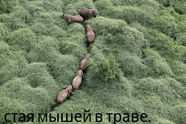 Стайка мышей пробивает дорогу в плотной траве.