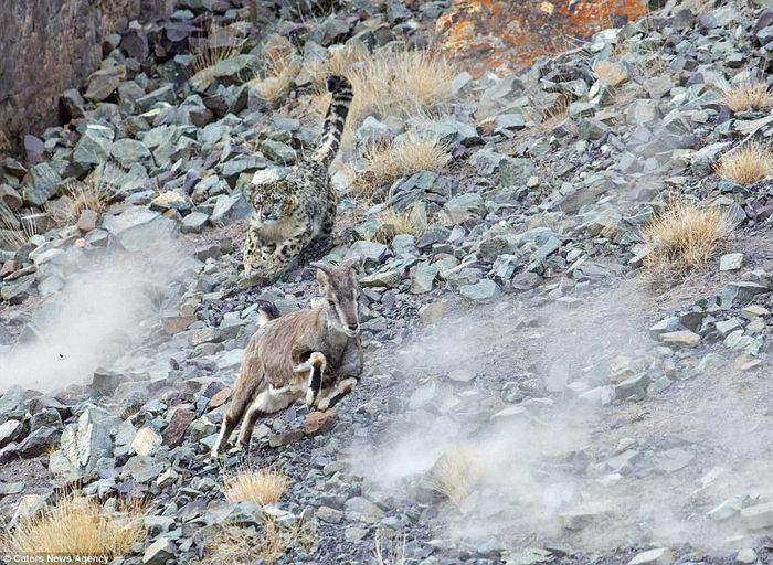 Вы видите на фото снежного барса? А он здесь - уникальные снимки охоты редкого хищника. Перевод, Охота, Леопард, Снежный барс, Гималаи, Длиннопост
