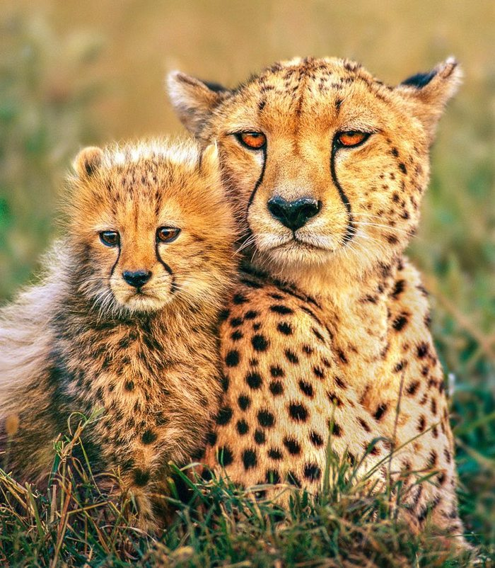Недовольство Гепард, Животные