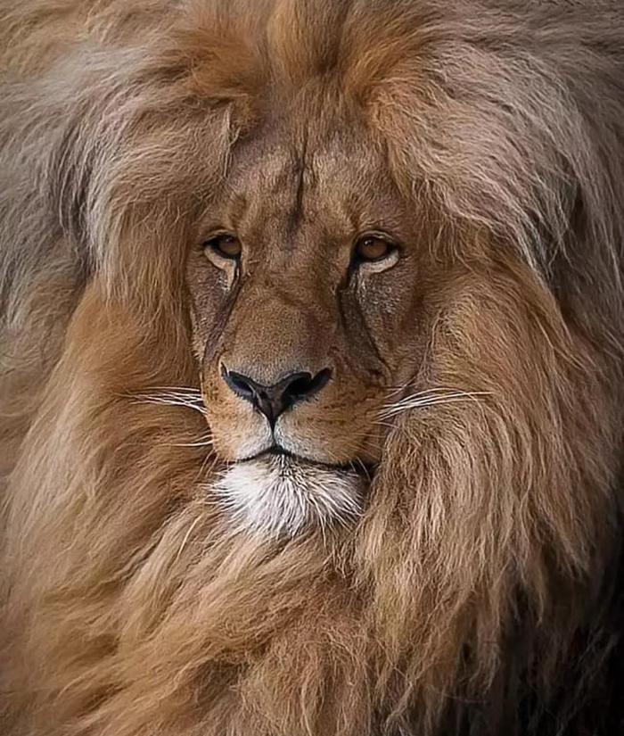 Волосатик) лев, волосы