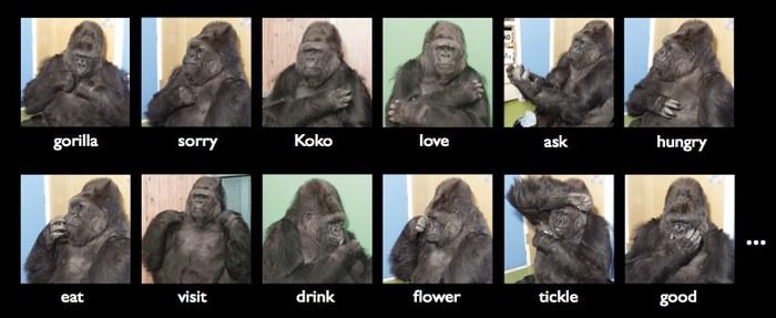 Удивительные способности гориллы Коко горилла, Животные, удивительное, доброта, милота, длиннопост