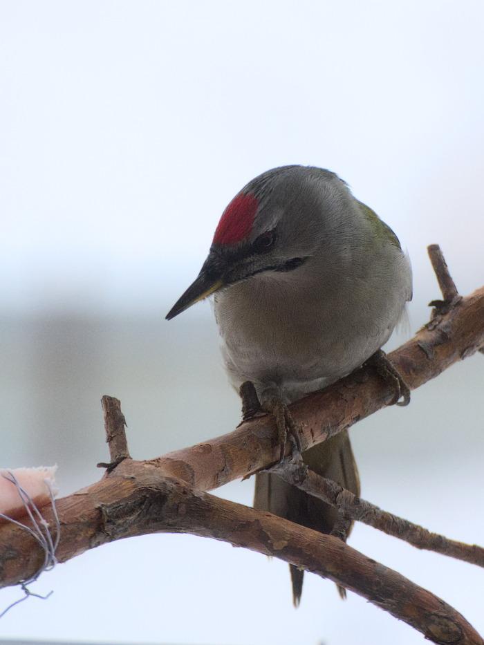 Соседи по балкону Птицы, Дятлы, Наблюдение за птицами, Зима, Длиннопост