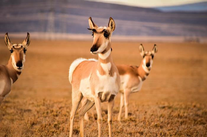 Вилороги – антилопы с пушистыми попками и большим сердцем Животные, Антилопа, Парнокопытные, Красота, Интересное, Длиннопост