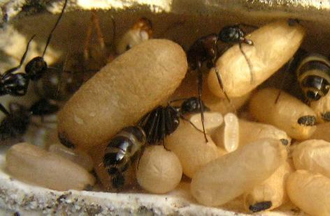 Немного о размножении муравьев. Муравьи, Формикарий, разведение муравьёв, муравьиная ферма, видео, длиннопост