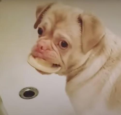 Пёс с нарушением пигментации оказался здоров и нашёл любящих хозяев Пигментация, Собака, Хозяева, Влюбленность, Щенки, Видео, Длиннопост