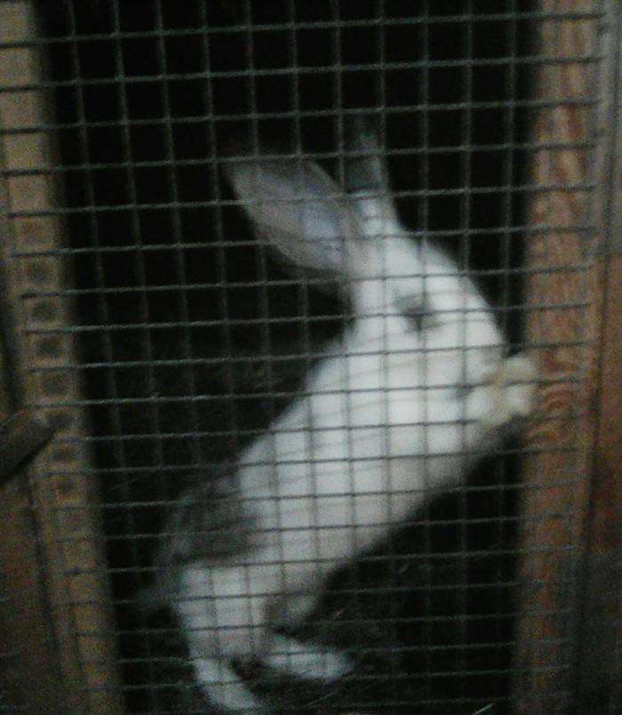 Кролик позер Кролик, Виварий, Физиология