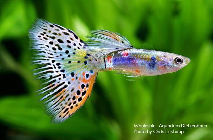 Гуппи рыбки купить в москве