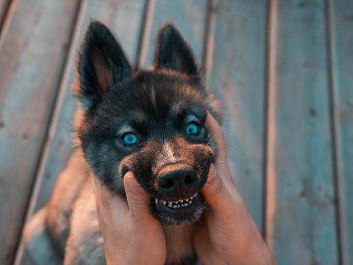 Сибирский хаски (окрас Агути) Собака, хаски, длиннопост