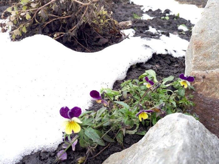 30 декабря, цветут фиалки, Тамбовская область Зима, Фиалки