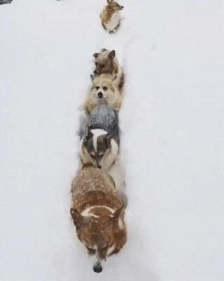 Шерстяные волчарёнки Собака, Снег, Корги, Шерстяной волчара, Гифка