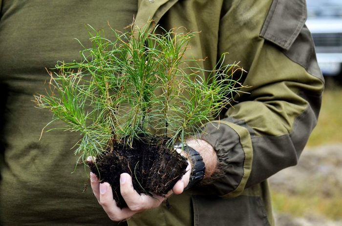 Как вырастить сеянцы сосны или елки на подоконнике Лес, Сосна, Ёлка, Выращивание, Длиннопост