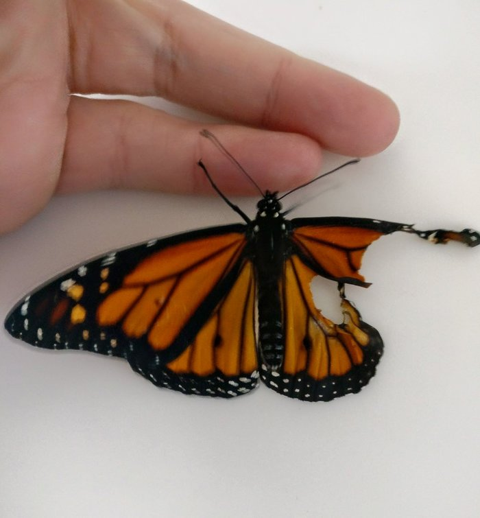 Трансплантация крыла бабочки Монарха бабочка, крыло, трансплантация, интересное, длиннопост