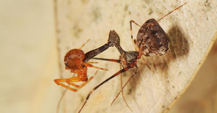 На Мадагаскаре найдено 18 новых видов пауков-пеликанов Паук, Паукообразные, Арахнофобия, Фотография, Наука, Биология, Интересное, Гифка, Длиннопост