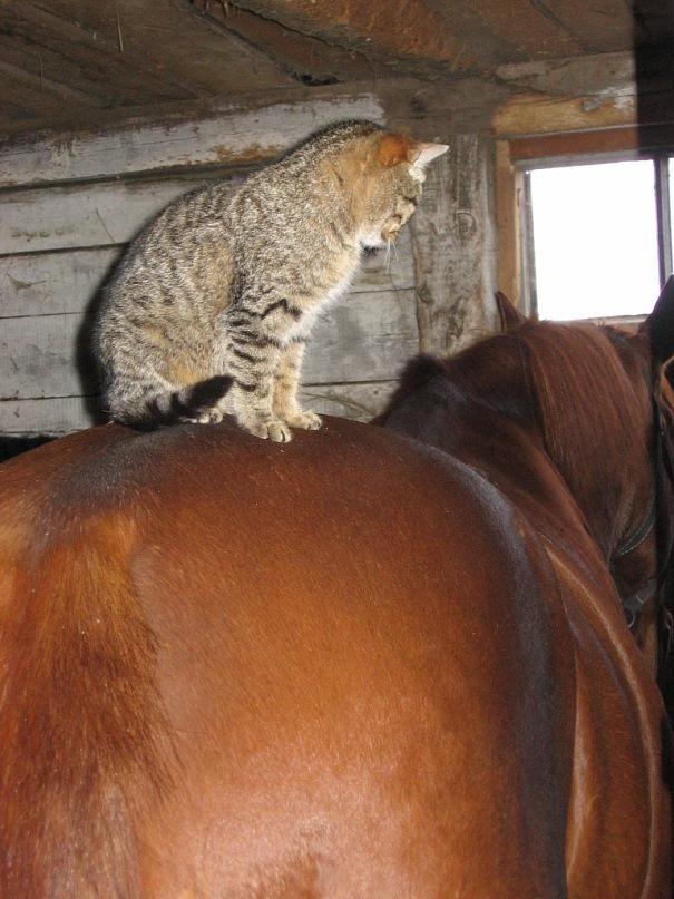 Коты на конюшне. Кот, Лошади, Конюшня, Дружба, Мерин, Длиннопост
