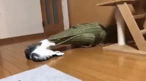 Поедание кошки крокодилом