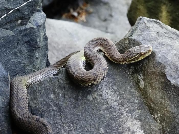 Змеи приморского края картинки и названия удивилась открыв