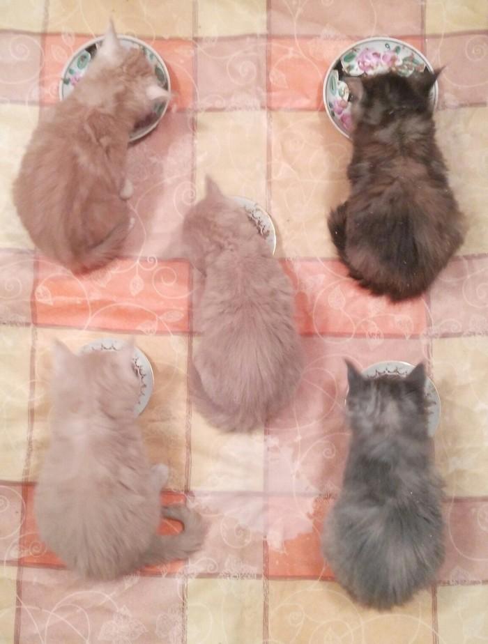 Тот случай, когда просто покормить - это скучно Большие кошки, Не скучно, Мейн-Кун, Кот