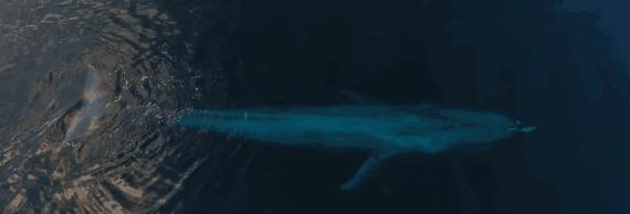Синий кит итихоокеанский белолобый дельфин