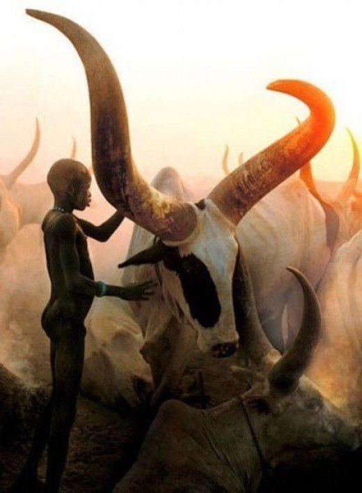 Ватусси ватусси, Корова, Африка, Животные, фотография, длиннопост