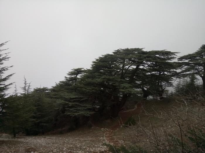 Ливанские кедры Ливан, Кедр, Длиннопост