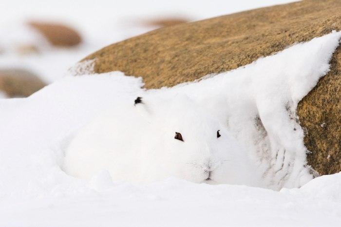 Проходи мимо, я просто сугробик) Заяц, Беляк, Снег, Спрятался, Мимикрия, Животные, Фотография